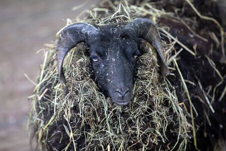 close-up view of black sheep looking at camera on defocused background