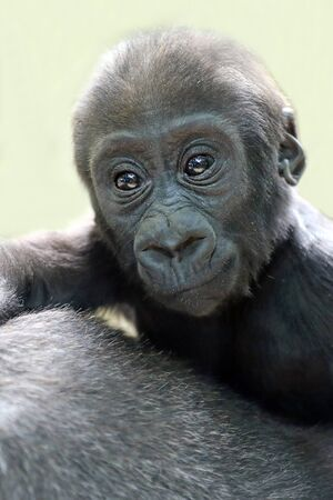 close-up view of adorable gorilla baby with adult animal, cropped shot
