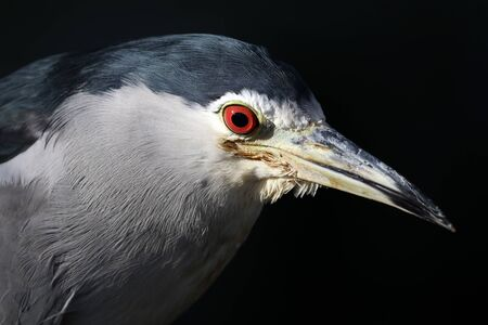 close-up view of black-crowned night heron isolated on black background Reklamní fotografie