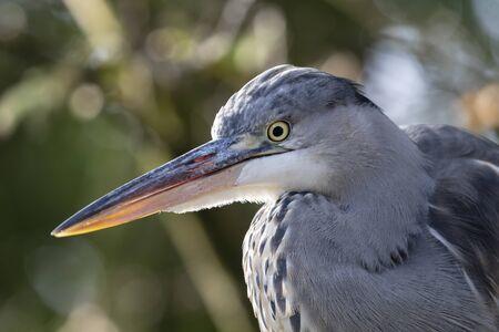 Grey Heron bird in natural habitat, blurred background.
