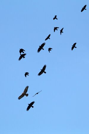 bottom view of a buzzard and jackdaws flying in blue sky