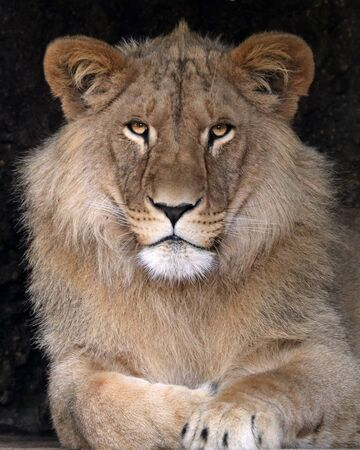 majestic lion in wildlife reservation, close up view Stock Photo