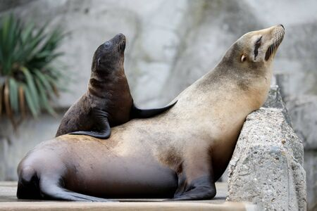 beautiful adult and young sea lions resting in zoo