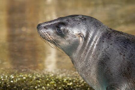 close-up view of beautiful grey sea lion near water Stock Photo