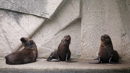 three adorable sea lions resting in zoo Stock Photo
