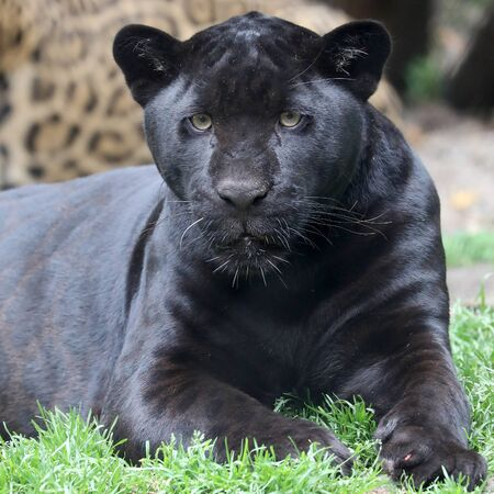 close-up view of majestic black jaguar looking at camera