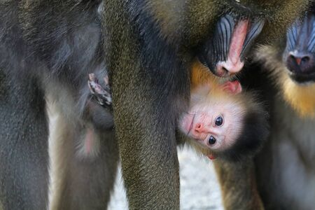 close-up view of adorable mandrill baby with adult animal, cropped shot 스톡 콘텐츠