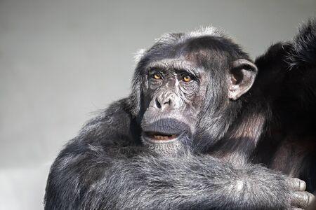 Chimpanzee animal, closeup view.