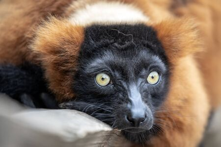 close-up view of adorable red ruffed lemur in wildlife Stock Photo