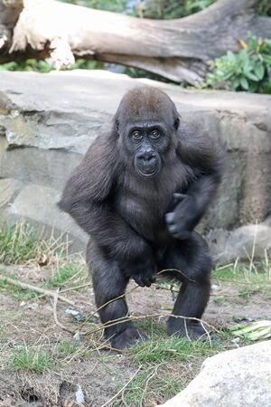 Mono gorila hembra joven, cerrar