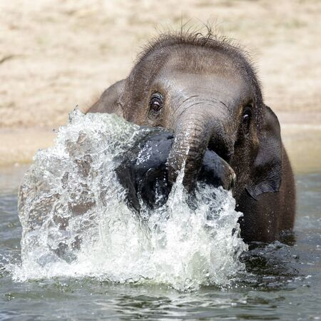 Small elephant playing with water in river
