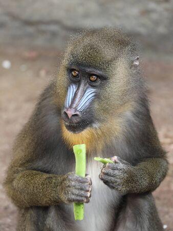 Adult Monkey Mandrill, wild life Banco de Imagens