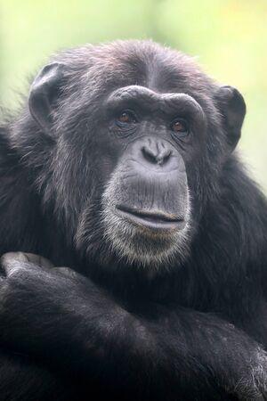 Chimpanzee animal close up 免版税图像