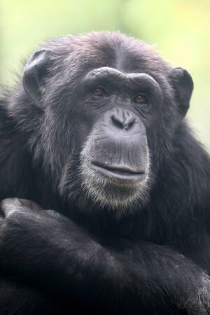 Schimpanse Tier hautnah Standard-Bild