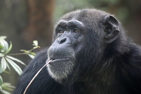 A Chimpanzee animal close up Foto de archivo