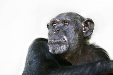 Female chimpanzee monkey, close up Foto de archivo