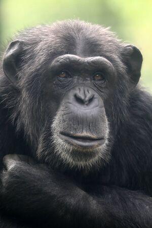 Chimpanzee animal close up