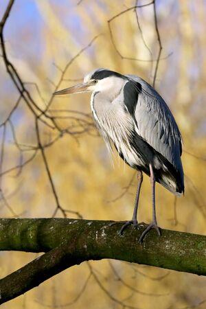 Grey heron bird in natural habitat Reklamní fotografie