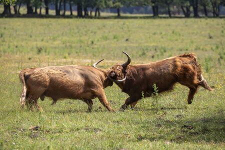 Fighting Scottisch Highlander bulls in the field