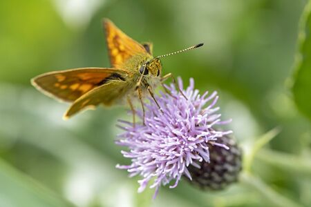 close up of Skipper butterfly on flower