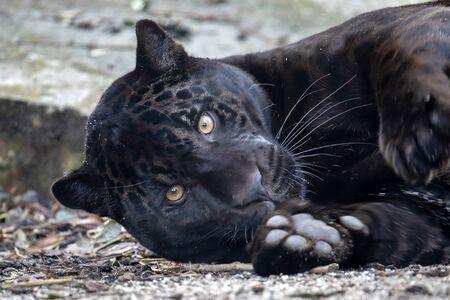 A young black jaguar portrait