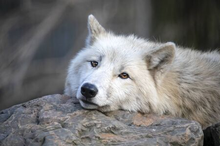 White Hudson Bay wolf beautiful view Stockfoto - 131592733
