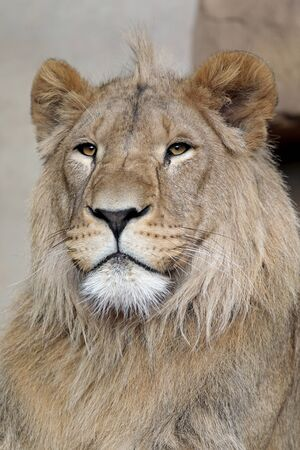Beautiful lion portrait close up Stockfoto