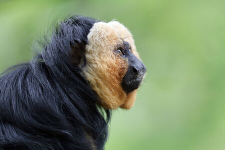 Close up view of white faced monkey Stockfoto