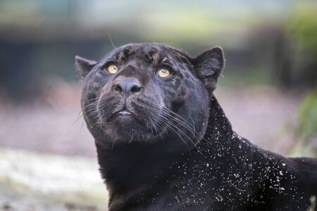 A young black jaguar portrait