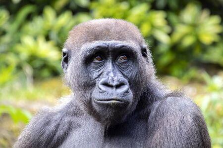 A young gorilla portrait in natural habitat
