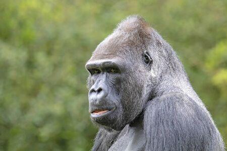 Silverback gorilla portrait in natural habitat Stockfoto