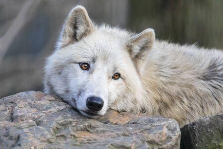 White Hudson Bay wolf beautiful view Stockfoto