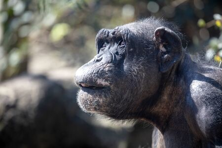 A Chimpanzee animal close up