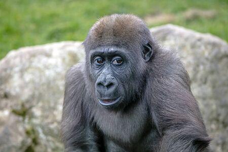 A young female gorilla close up