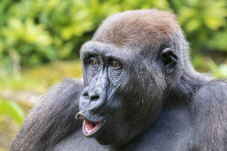 Un retrato de joven gorila en hábitat natural.