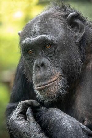 A Chimpanzee animal close up