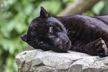 Young black jaguar portrait Stockfoto