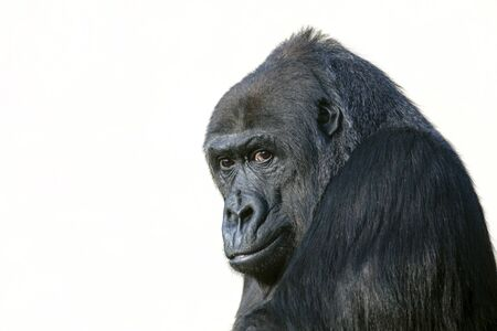 gorilla portrait in nature view Stockfoto
