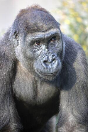 gorilla portrait in nature view Stockfoto