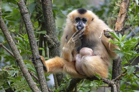 Yellow-cheeked gibbon mother view in nature