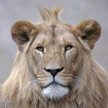 A beautiful young male lion portrait view