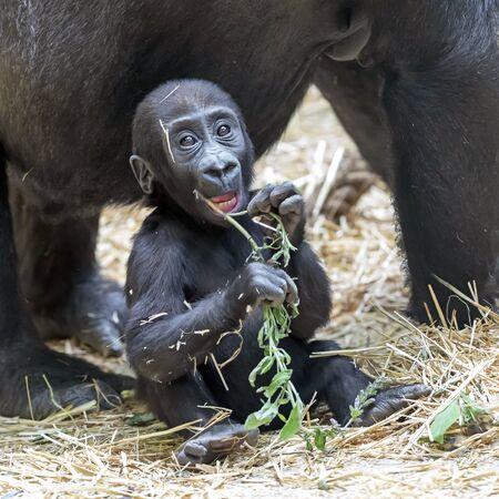 cute gorilla baby portrait