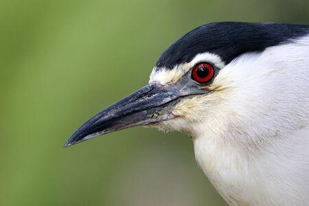 Black-crowned night heron on tree branch