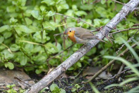 Close up of an european robin bird Stockfoto