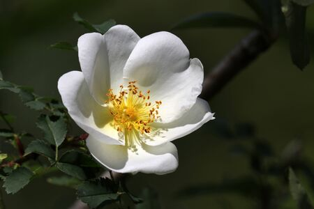 white wild rose flower on background, close up