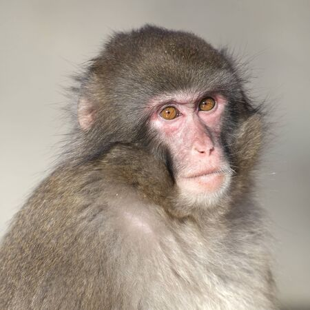 Young Japanese Macaque on background,close up