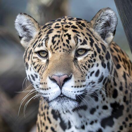 Closeup portrait of Jaguar on blurred background