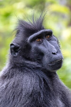 Crested macaque on background, close up