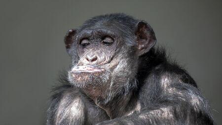 Funny chimpanzee portrait oFunny chimpanzee portrait on background, close upn background, close up Stockfoto