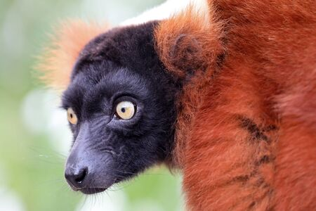 close-up view of adorable red  lemur in wildlife